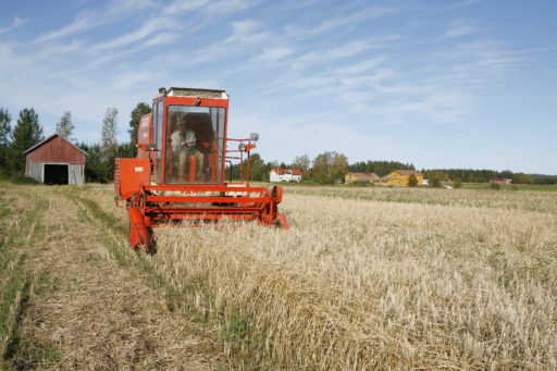 Tröskning av ekologisk korn.